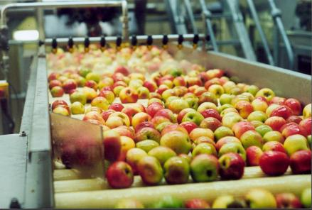 Craft Cider Apples, Cidery production, apples on a production line